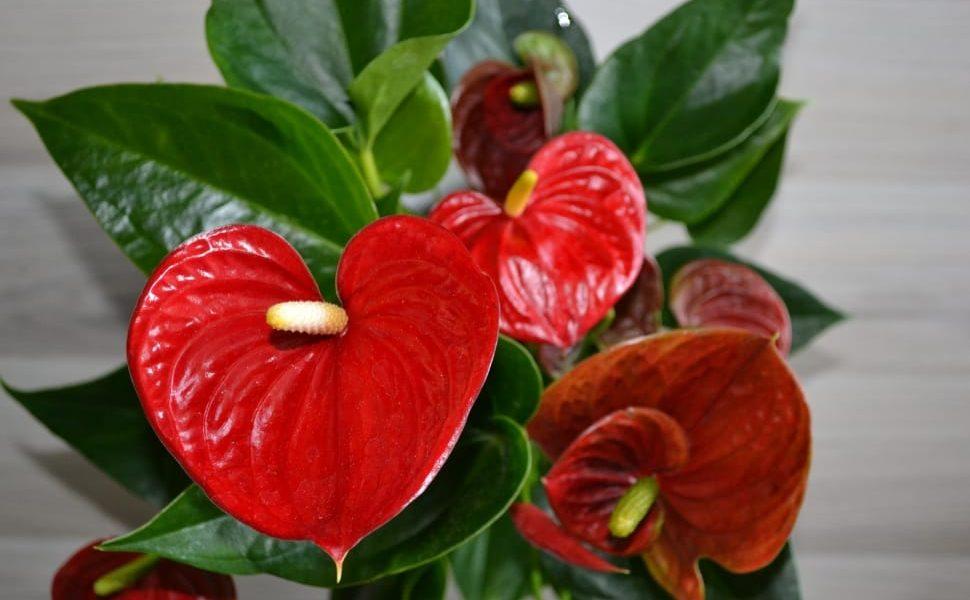 Ko-Ko hum notranje rastline