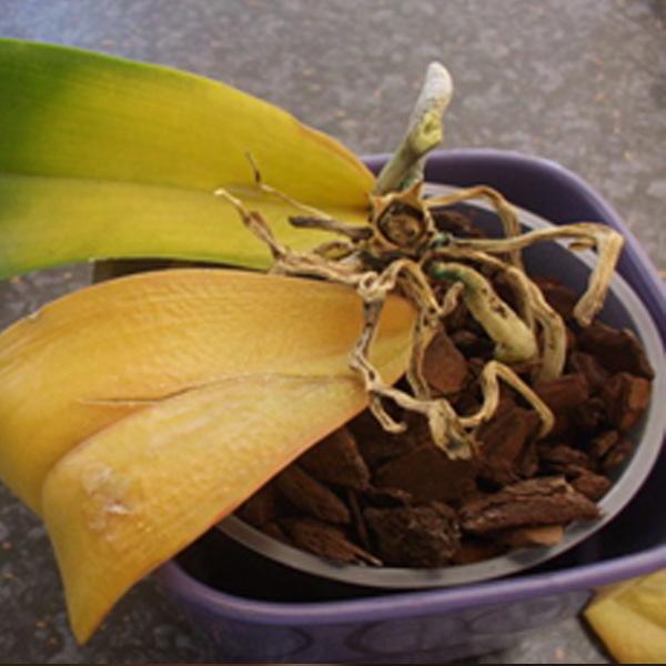 Glivična obolenja orhideja