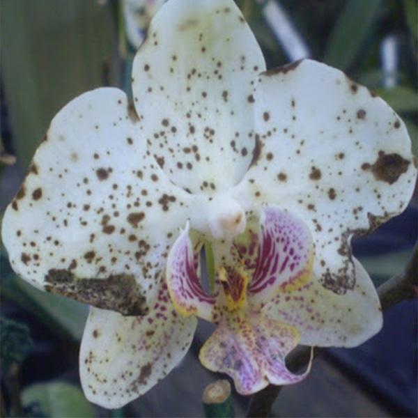 Nepravilni cvetovi orhideja