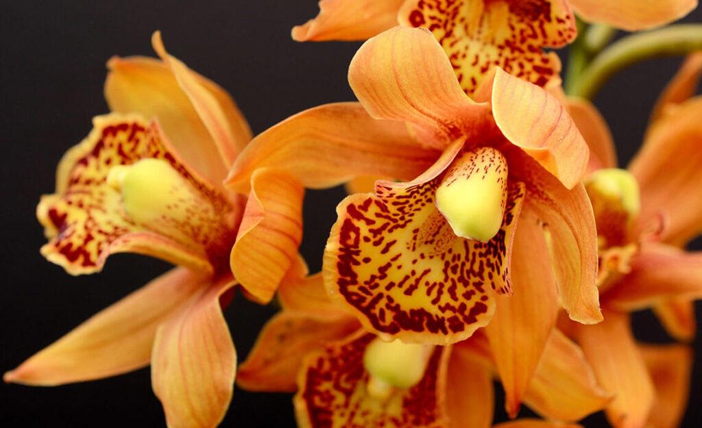 Orhideje- Humko naslovna
