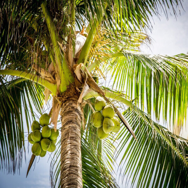 slika_palme